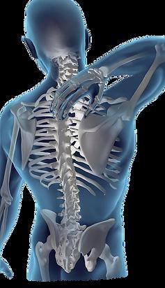 back anatomy.png