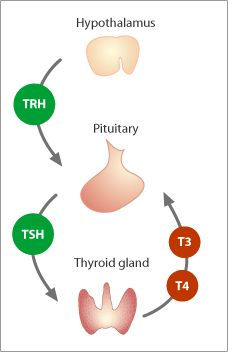 Thyroid-TRH-TSH-TH-axis.jpg
