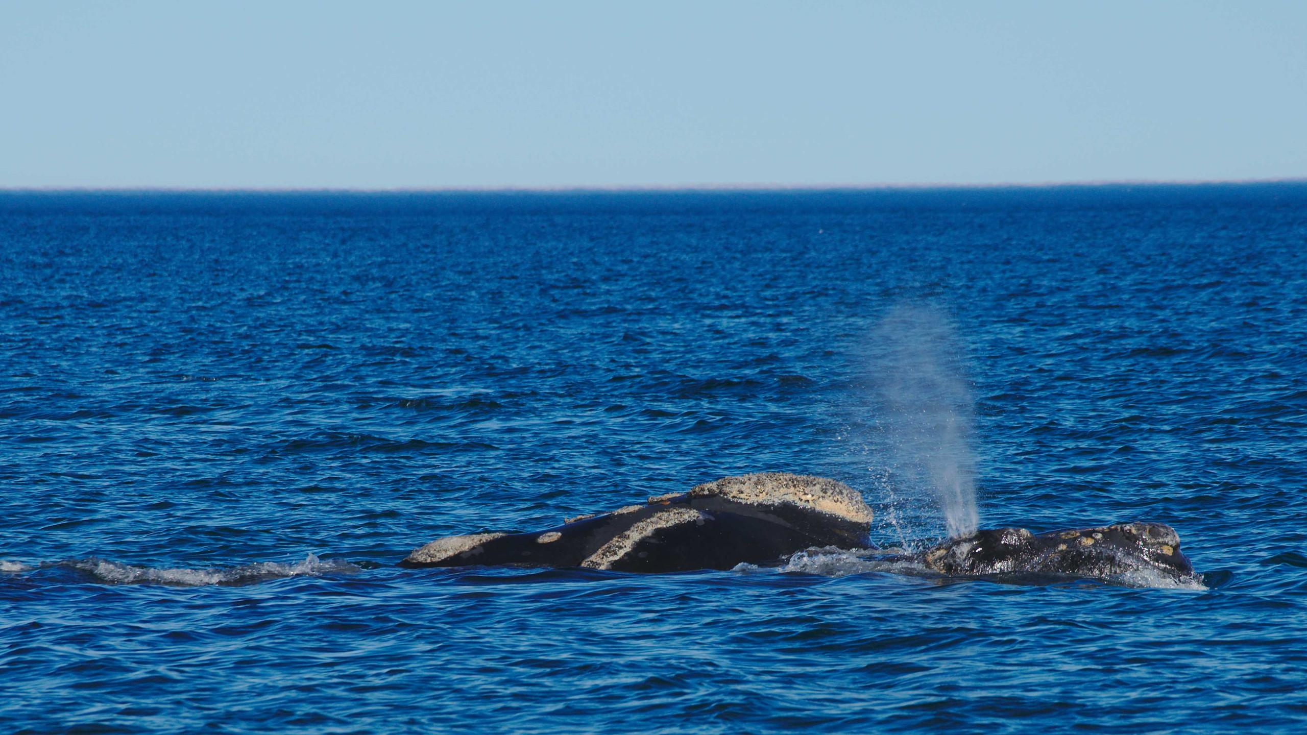 Und hier, gleich zwei Wale