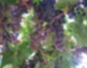 Lattin Farms Grapes