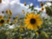Lattin Farms Sunflowers by Milana