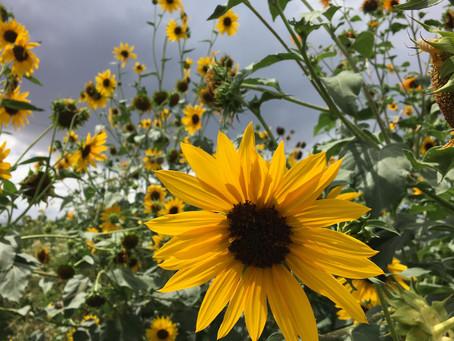 Sunflower Festival Plans