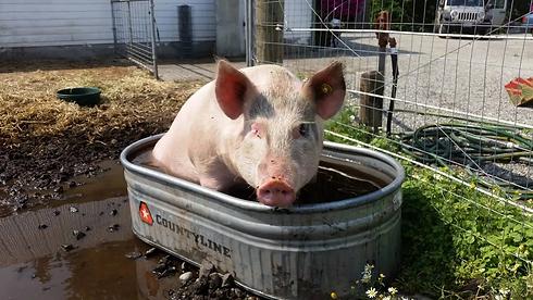 pig in watering trough.webp