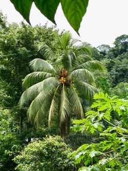 Yellow Coconut