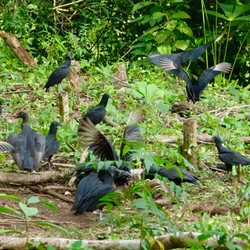 Black Vultures with an immature King