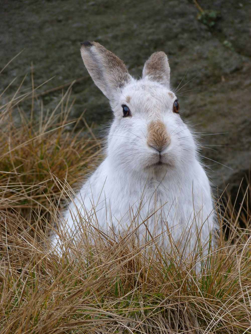 https://ptes.org/ways-to-give/endangered-mountain-hares-fb/mountain-hare-lepus-timidus-2-ken-gartside-credit-fb/