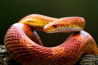 Red corn snake on branch, closeup snake.jpg