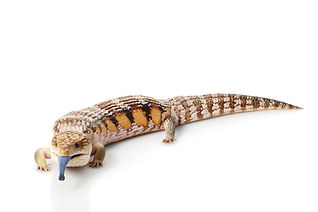 Eastern Blue-tongued Skink (Tiliqua scincoides scincoides) isolated on white background..j