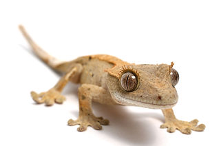 Crested Gecko on a white background.jpg