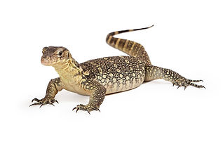 Varanus salvator, commonly known as Asian Water Monitor with an attentive stance sitting o