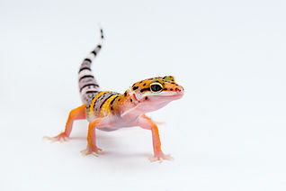 Leopard Gecko on white background.jpg