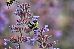Nepeta pollinators