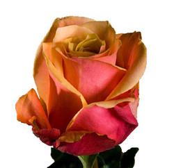 Cherry Brandy Rose