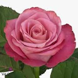 Opus Rose