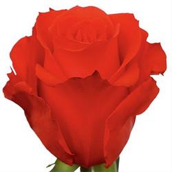 Star 2000 Rose