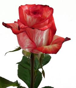High & Twinkle Rose