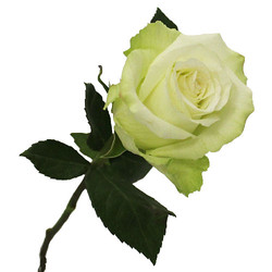 High & Peace Rose