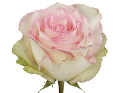 Esperance Rose