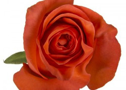 New Party Rose