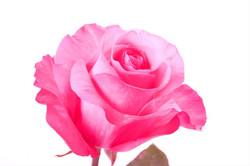 Thrill Rose