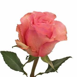 Dekora Rose