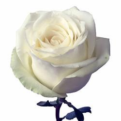 High & Pure Rose