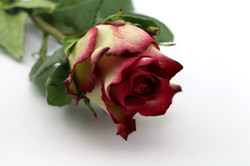 Absurda Rose