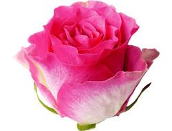 Malibu Rose