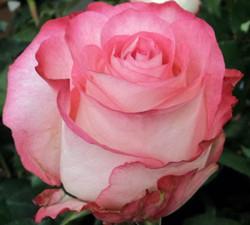 High & Candy Rose