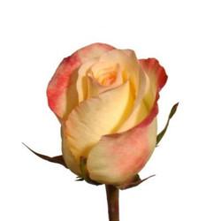 Aubade Rose