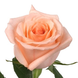 Engagement Rose