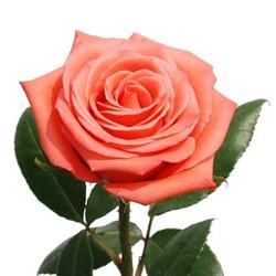 Movie Star Rose