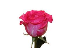 Wild Topaz Rose