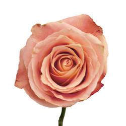 Fado Rose