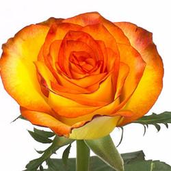 High & Orange Rose