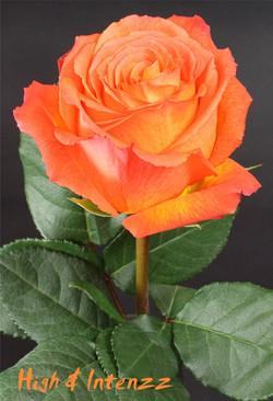 High & Intense Rose