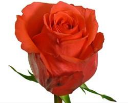 Rockstar Rose