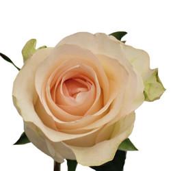Senorita Rose