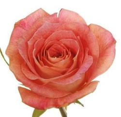 Big Fun Rose