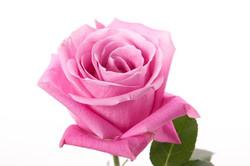 Soulmate Rose