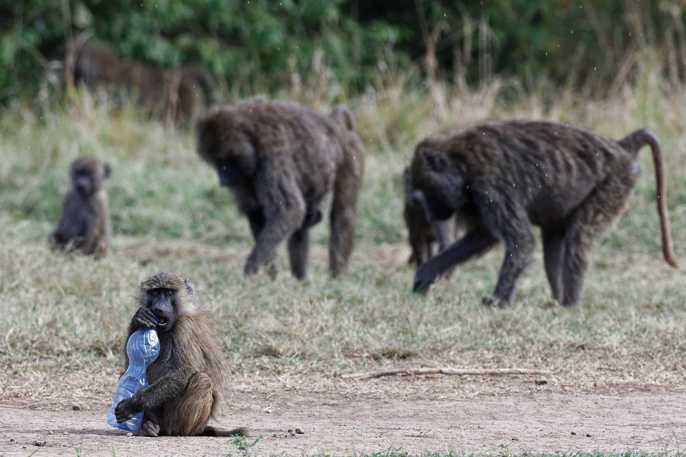 Young baboon playing with a plastic bottle in the Maasai Mara