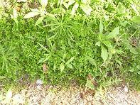Weeds/Bindii - Broadleaf