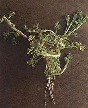 Bindii Weed