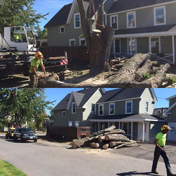 Large silver maple in down town Derry, NH. Road was blocked off with police detail. Probably 3-4 foo