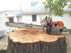 Monster dead ash tree today in Sandown, NH. 32_ bar for reference