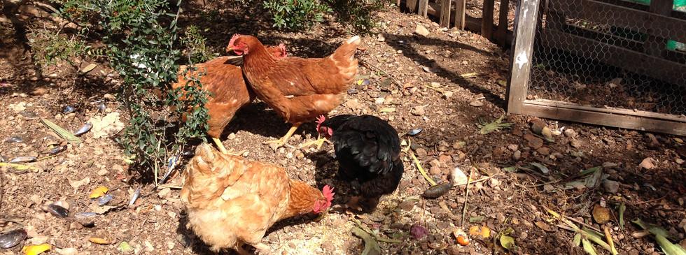 Chickens, March 2016.JPG