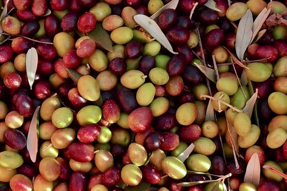 Organic-olives-Agrit.-Montelovesco