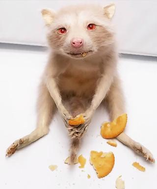 albinocoon.jpg