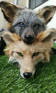 Cross Fox & Dakota Gold Fox