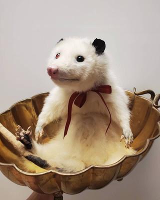 albinopossum.jpg